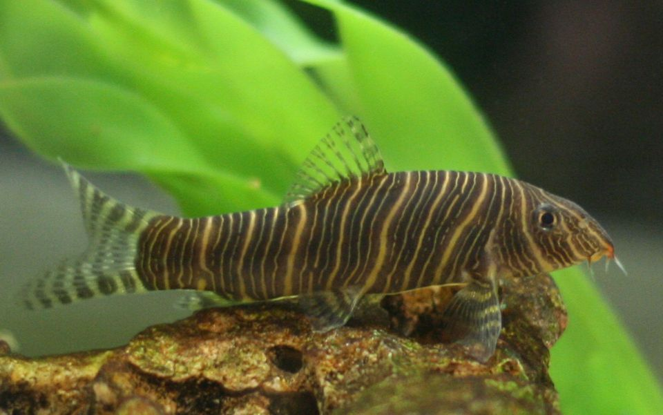 Zebra Loach fish on a rock in an aquarium