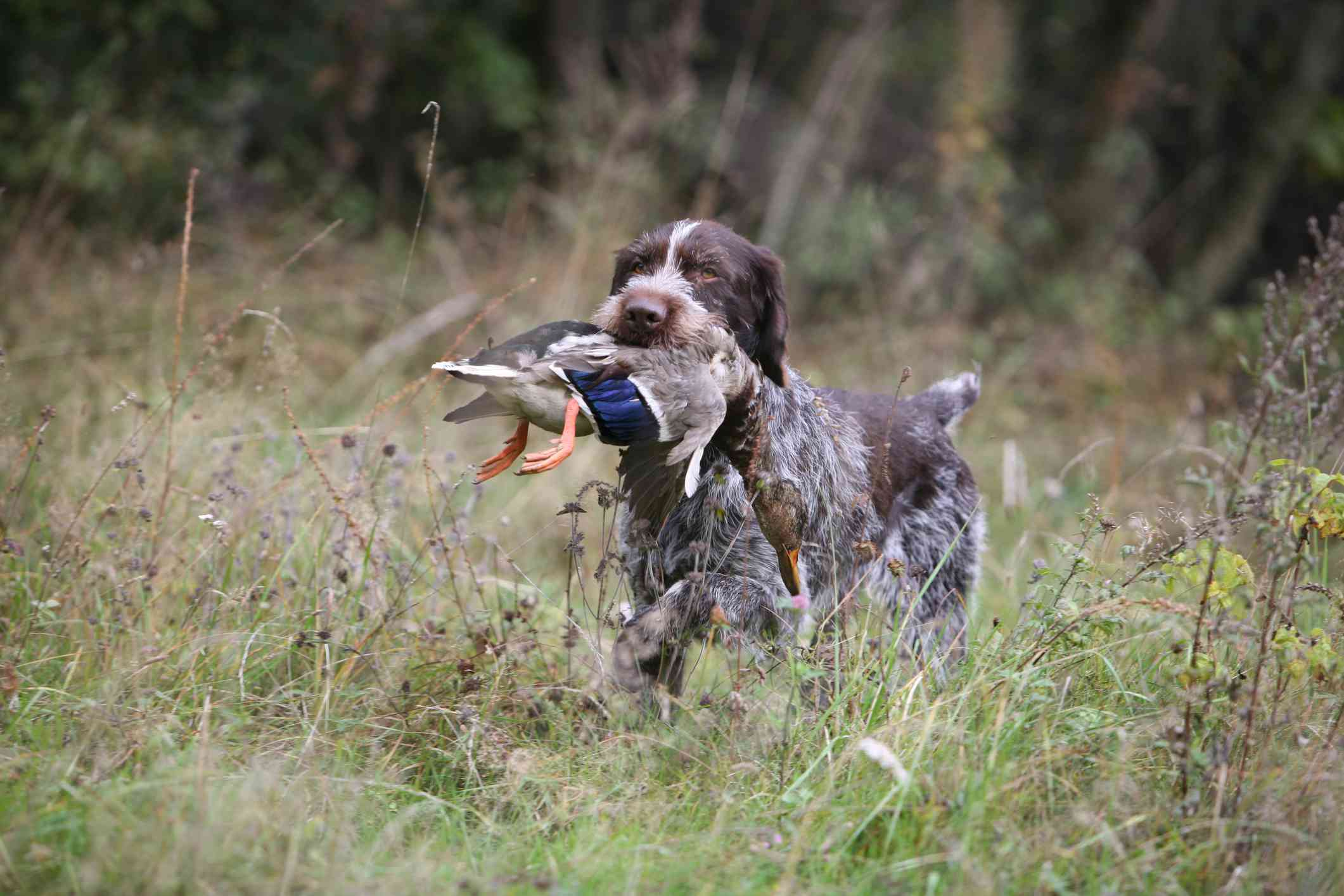 German Wirehaired Pointer retrieving a duck