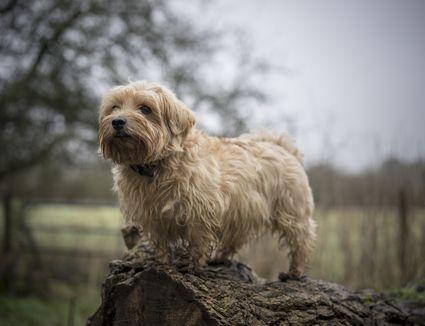 Norfolk terrier standing outdoors
