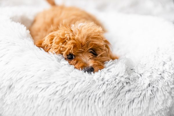 Light brown fluffy dog laying on light gray fluffy bed
