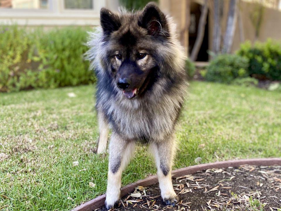 Eurasier dog standing in a garden