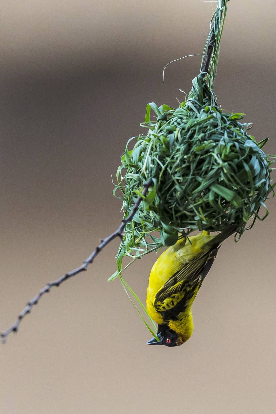 Male Black Headed Weaver bird