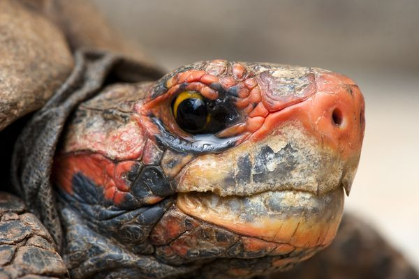cherry head red-footed tortoise