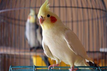 Cockatiel Perching On Cage