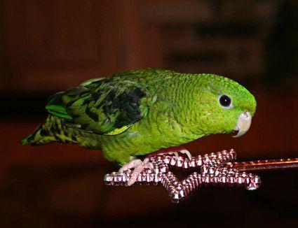 Lineolated Parakeet