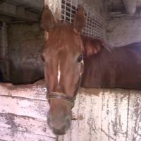 Horse chewing stall wall