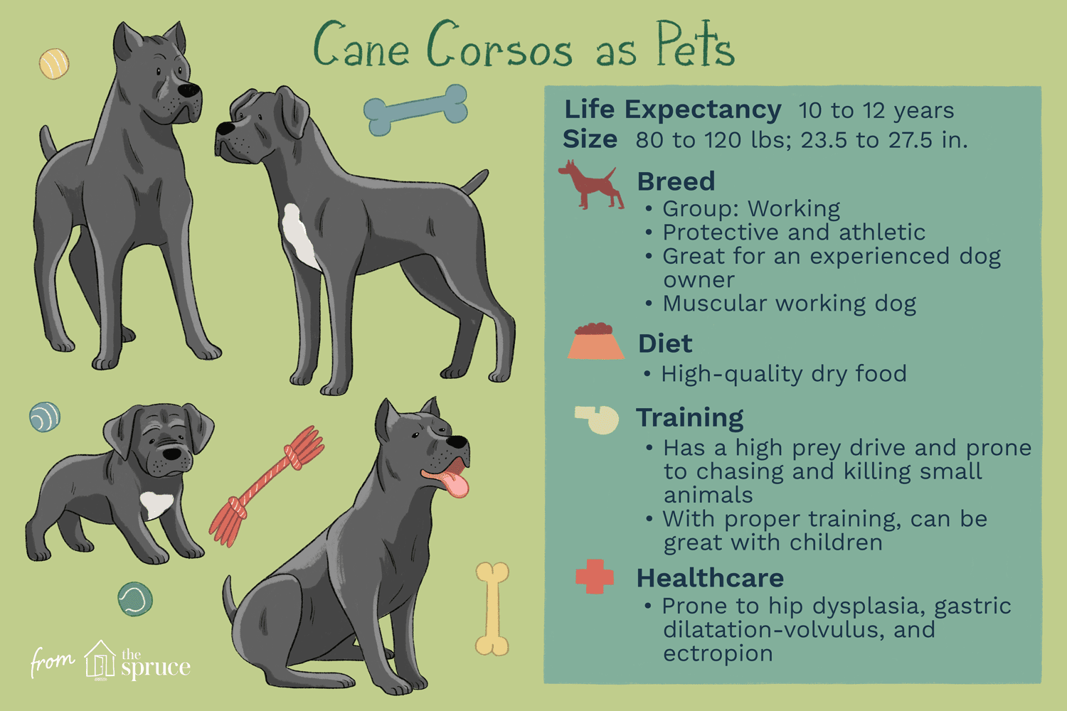 Cane Corso Full Profile History And Care