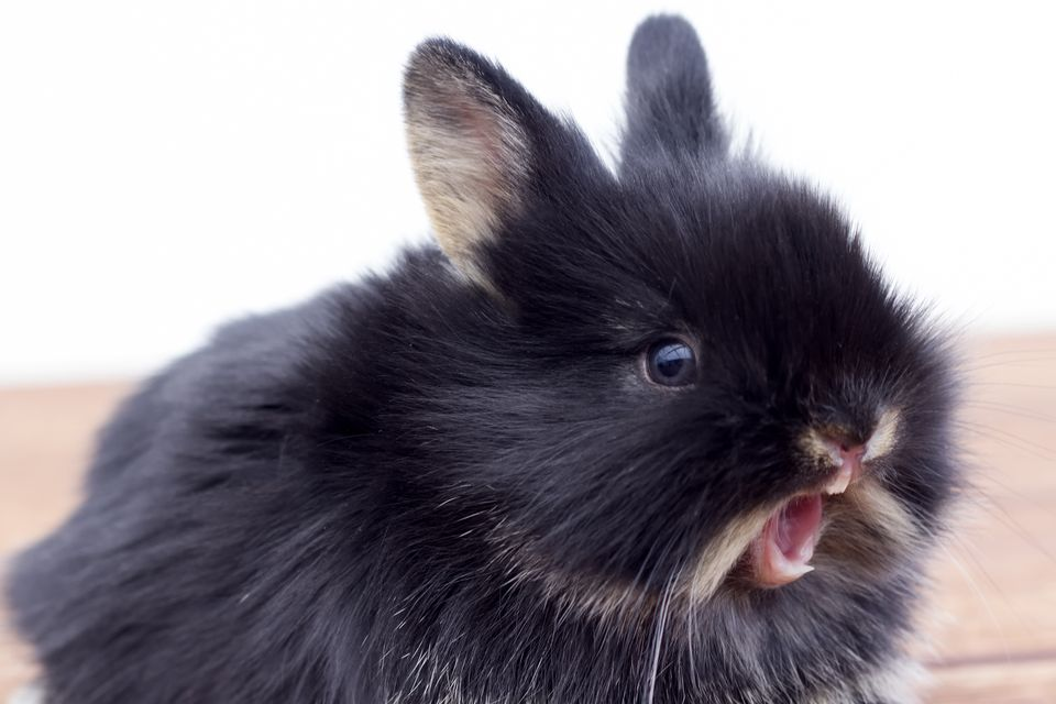 Dwarf rabbit with mouth open showing its teeth.