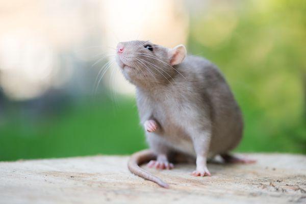 grey pet rat posing outdoors in summer