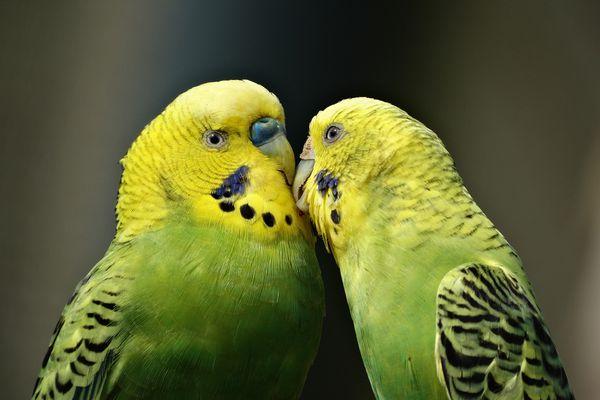 Parrots kissing