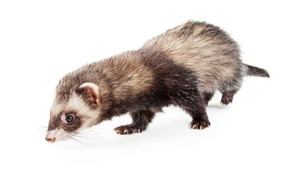 Ferret sniffing the ground.