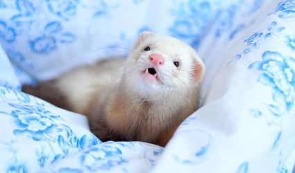 Champagne ferret on blue floral cloth