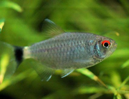 Red Eye Tetra - Moenkhausia sanctaefilomenae