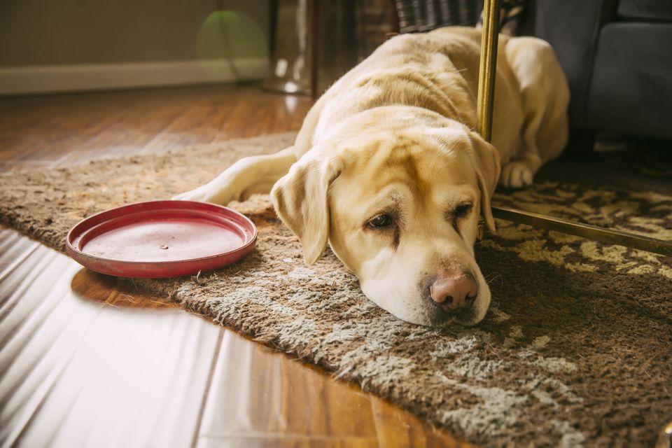 Triste perro acostado con disco de plástico en la sala de estar