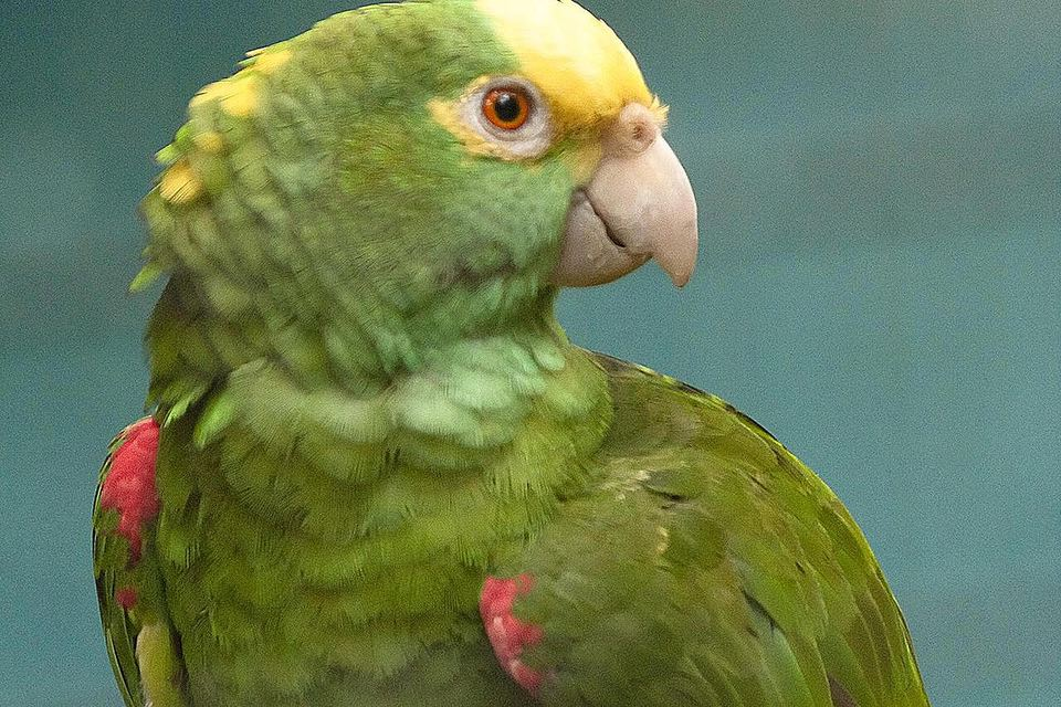 Yellow-crowned Amazon (also known as the Yellow-crowned Parrot) at Jurong Bird Park, Singapore.