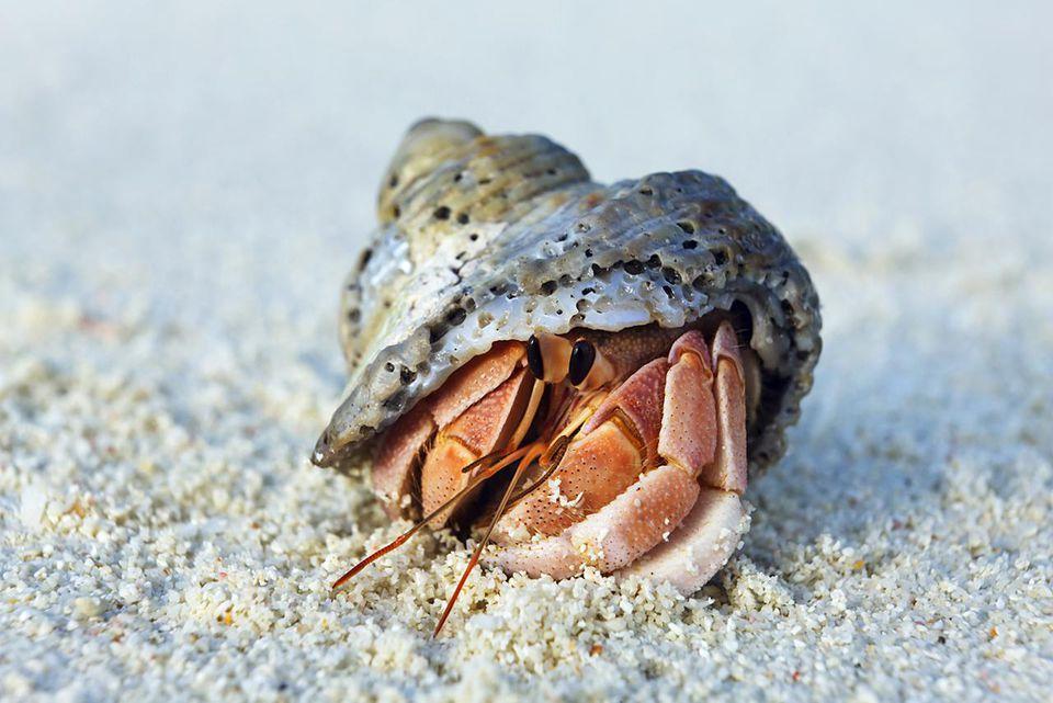 Hermit crab - Asia, Maldives, Baa Atoll, Kunfunadhoo (Soneva Fushi) - Afternoon