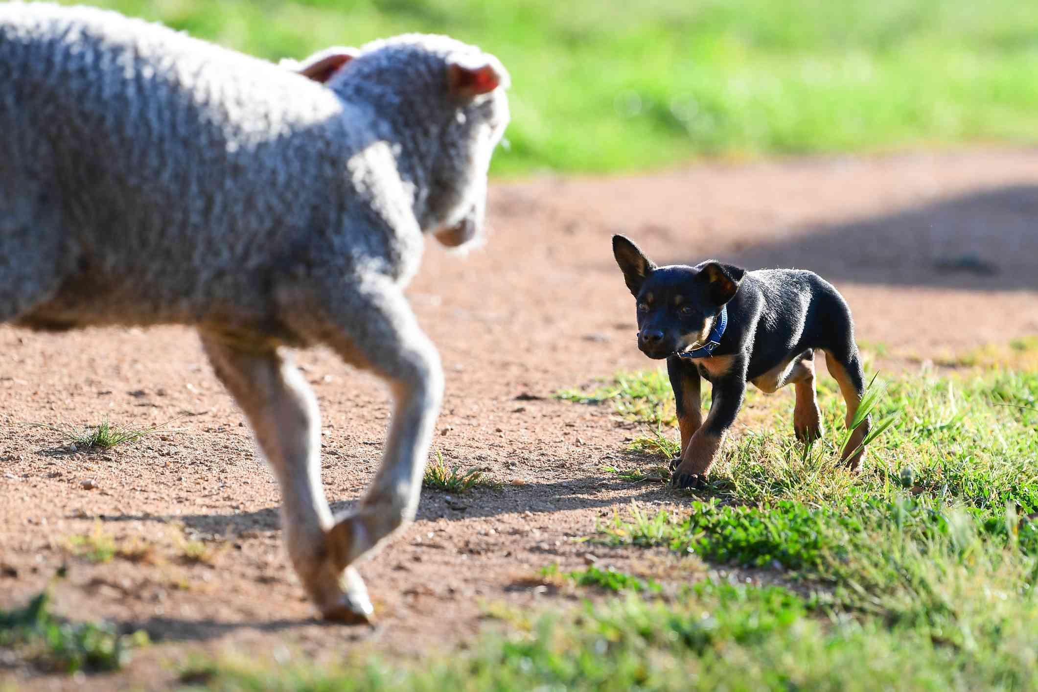 Australian Kelpie puppy herding sheep