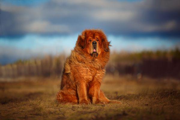 Red gold Tibetan Mastiff