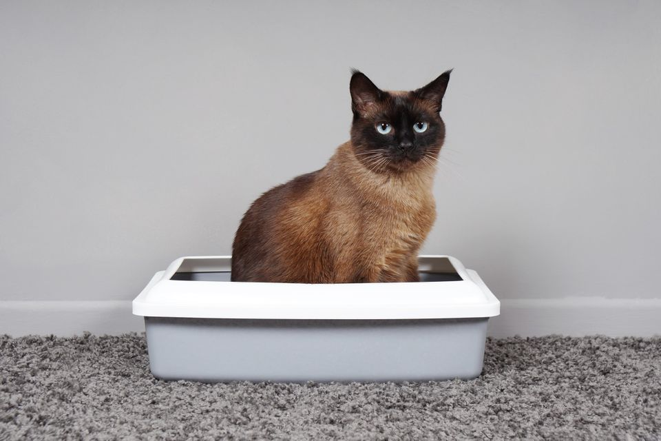 Cat sitting in a litterbox