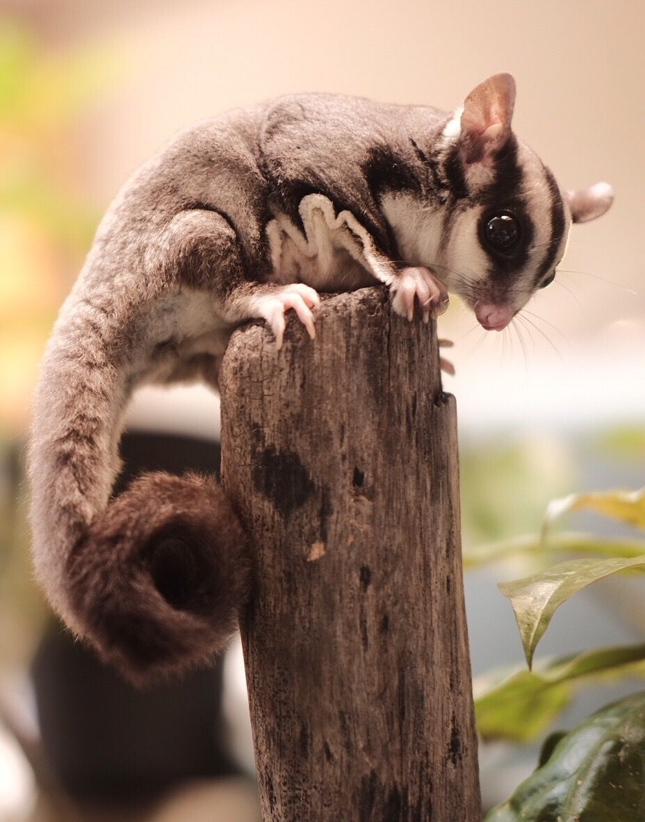 Sugar glider climbing on a wood fence