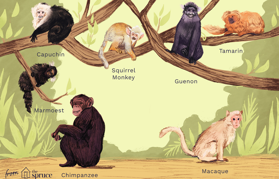 types of monkeys illustration