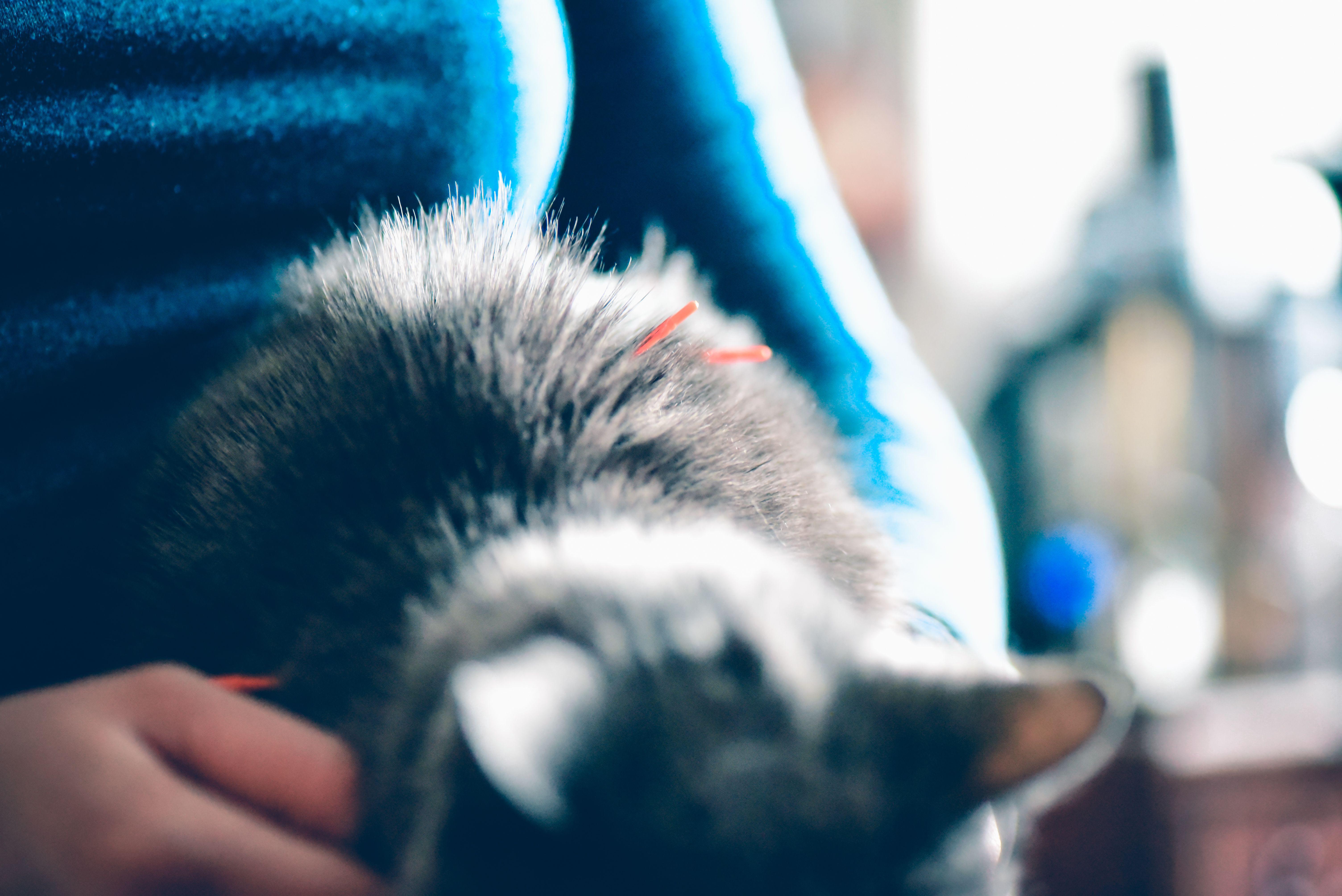Cat receiving acupuncture.