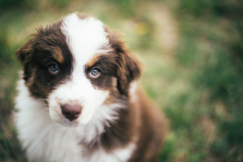 Un cachorro de pastor australiano