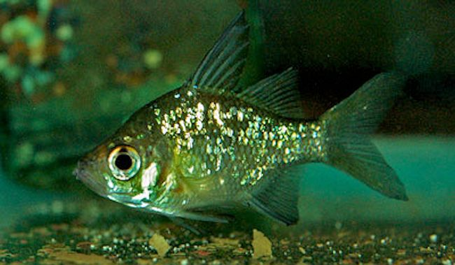 Indian Glassfish