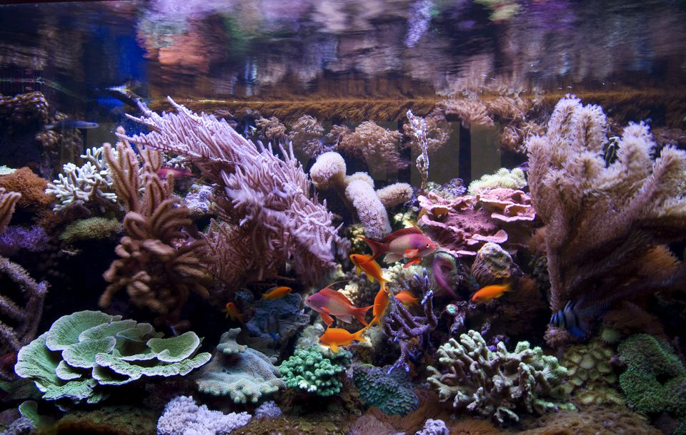 Fish swimming in a saltwater tank