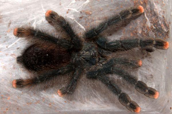 A pink toe tarantula on a web