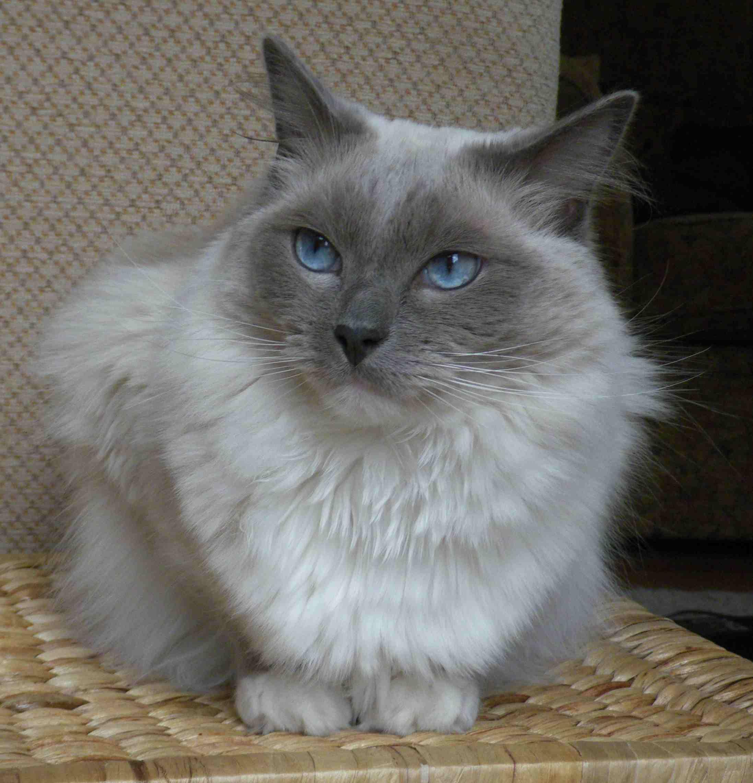 Ragdoll cat on a basket
