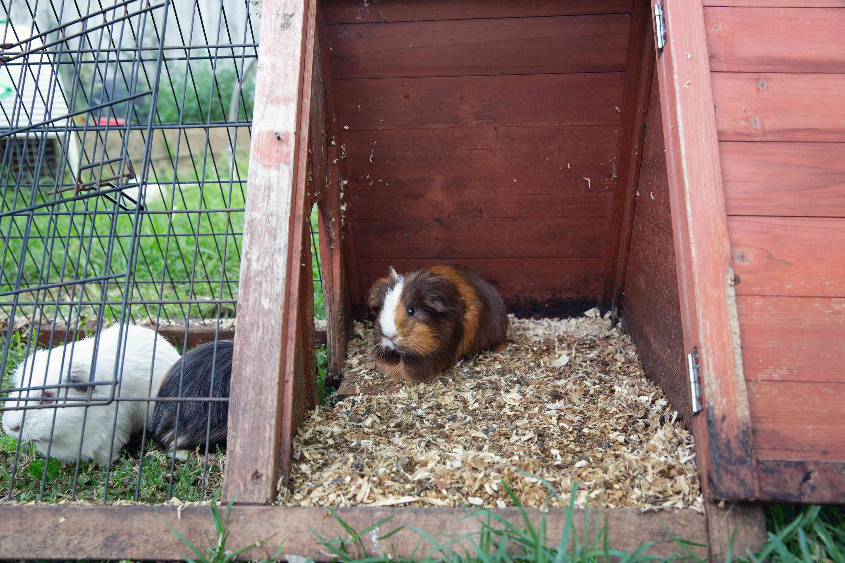 Guinea pigs sitting in a large cage with indoor and outdoor space