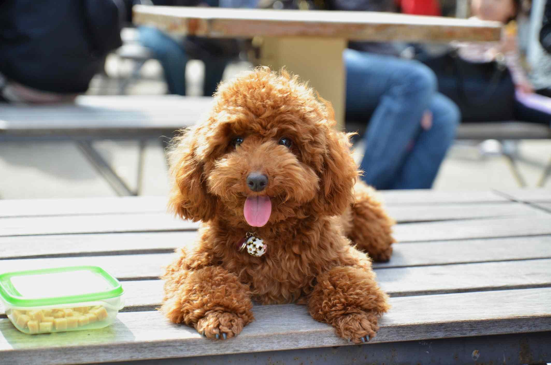 Brown Toy Poodle sitting on park bench next to container of food.