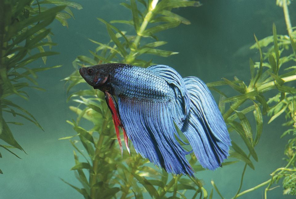 betta fish in a saltwater aquarium