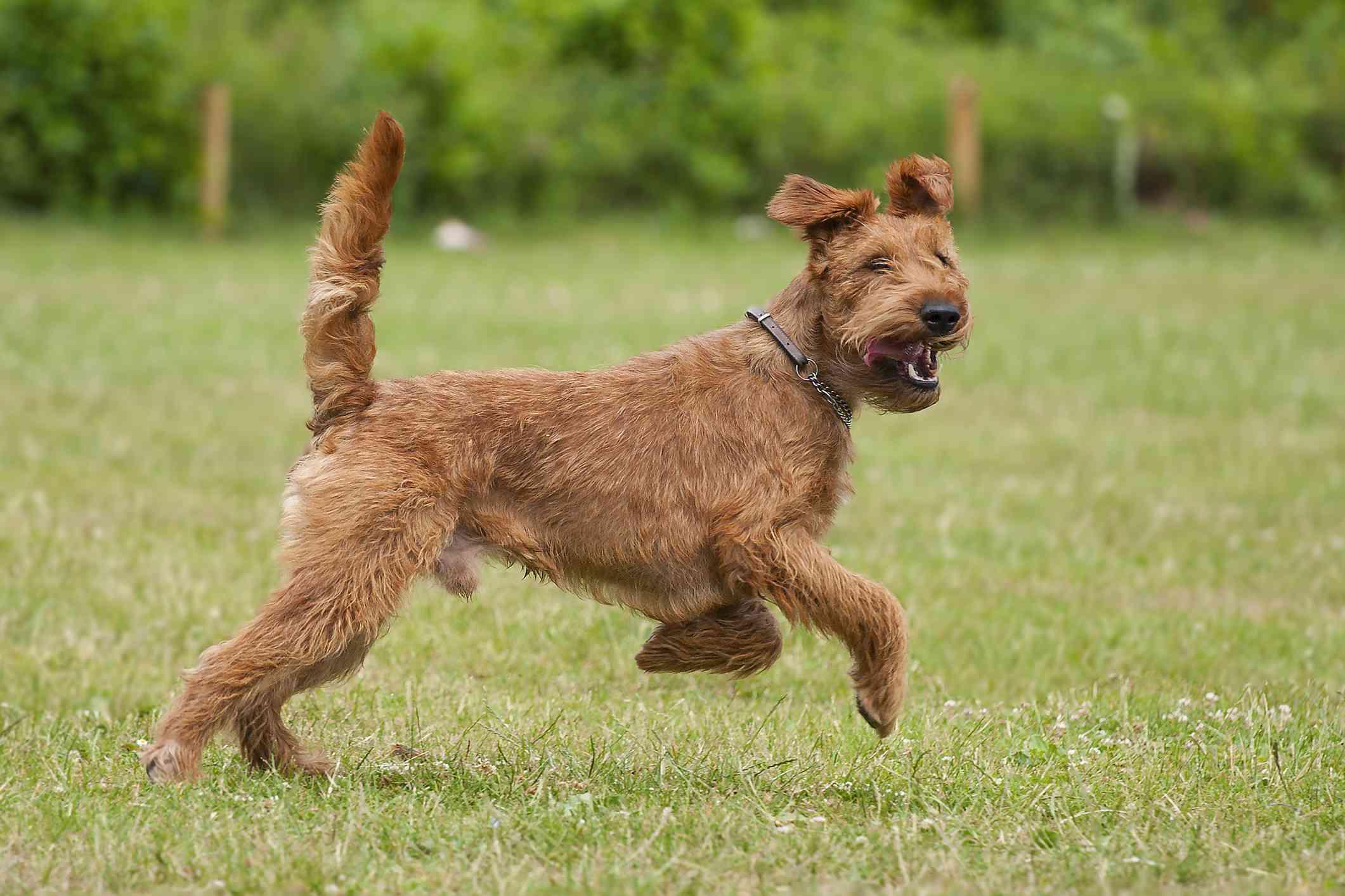 Irish Terrier running in the grass