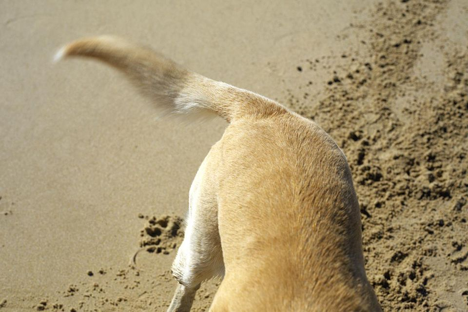 Yellow labrador digging on beach, elevated view