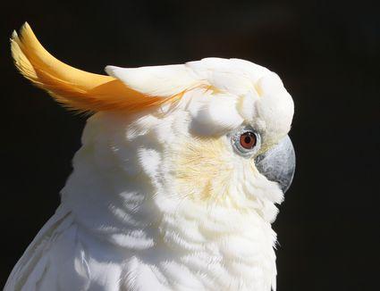 Sumba Citron Crested Cockatoo