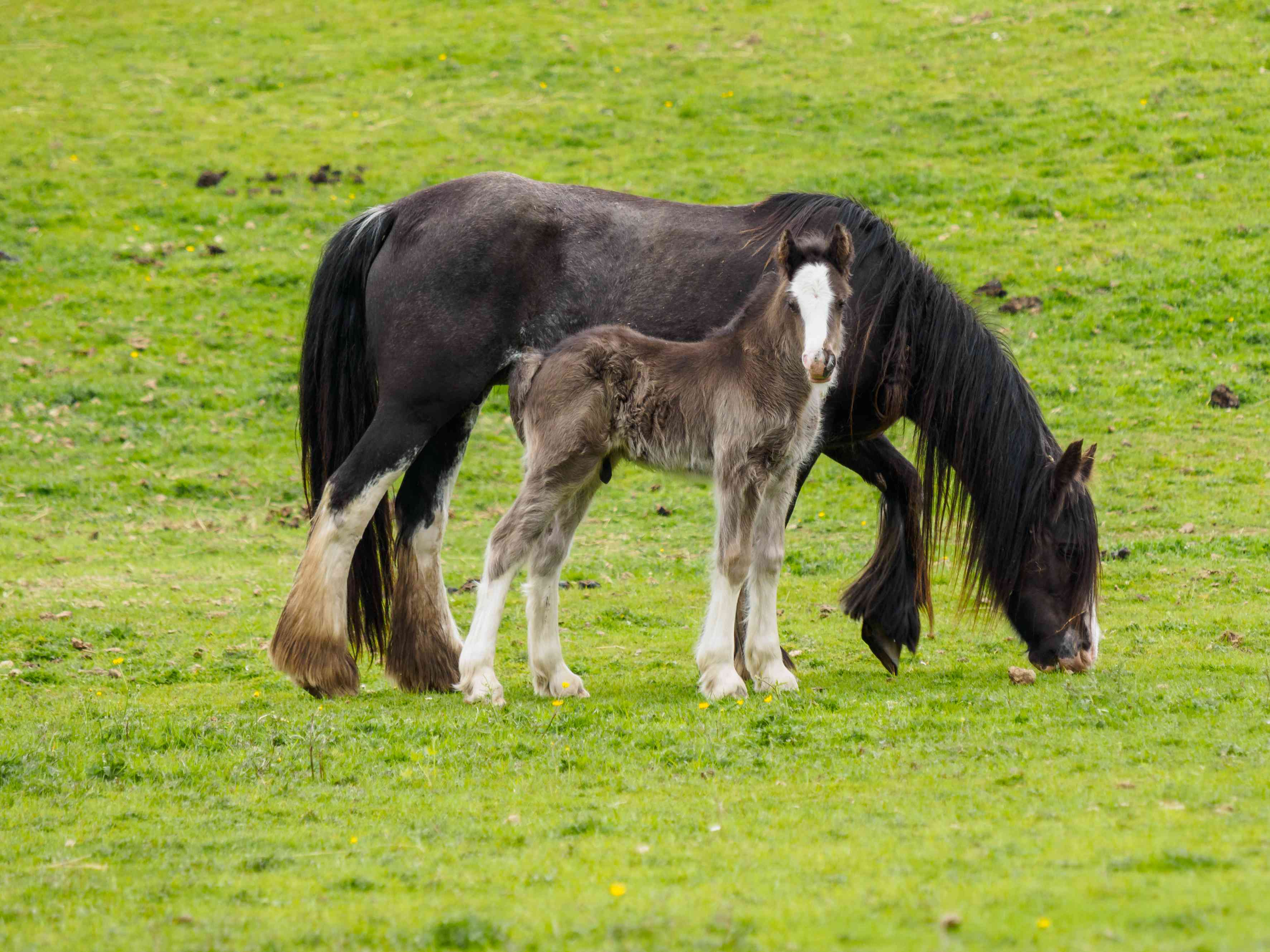 Gypsy Vanner mare and foal grazing in the pasture.