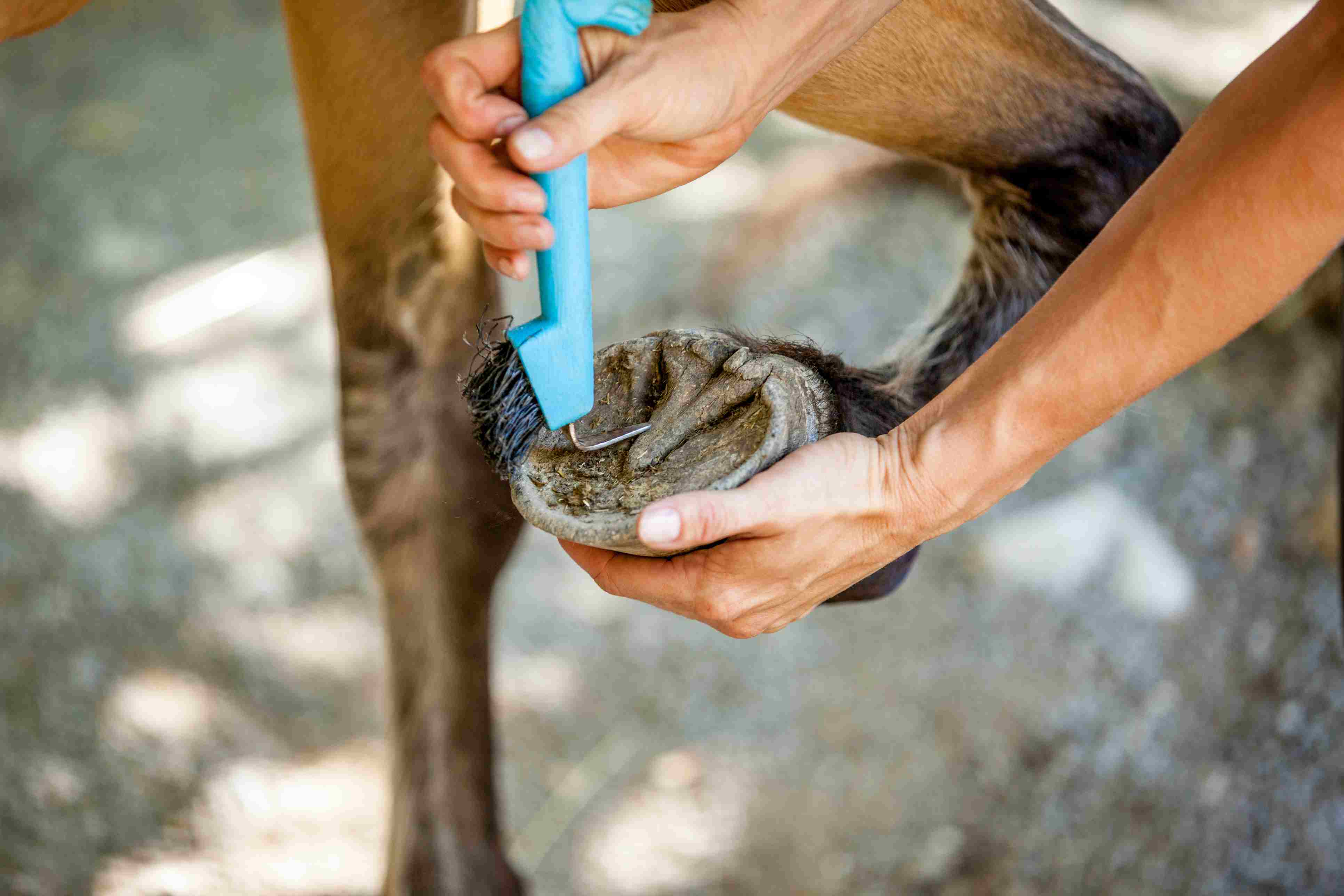 Cleaning Horse´s Hoof with Hoof Pick
