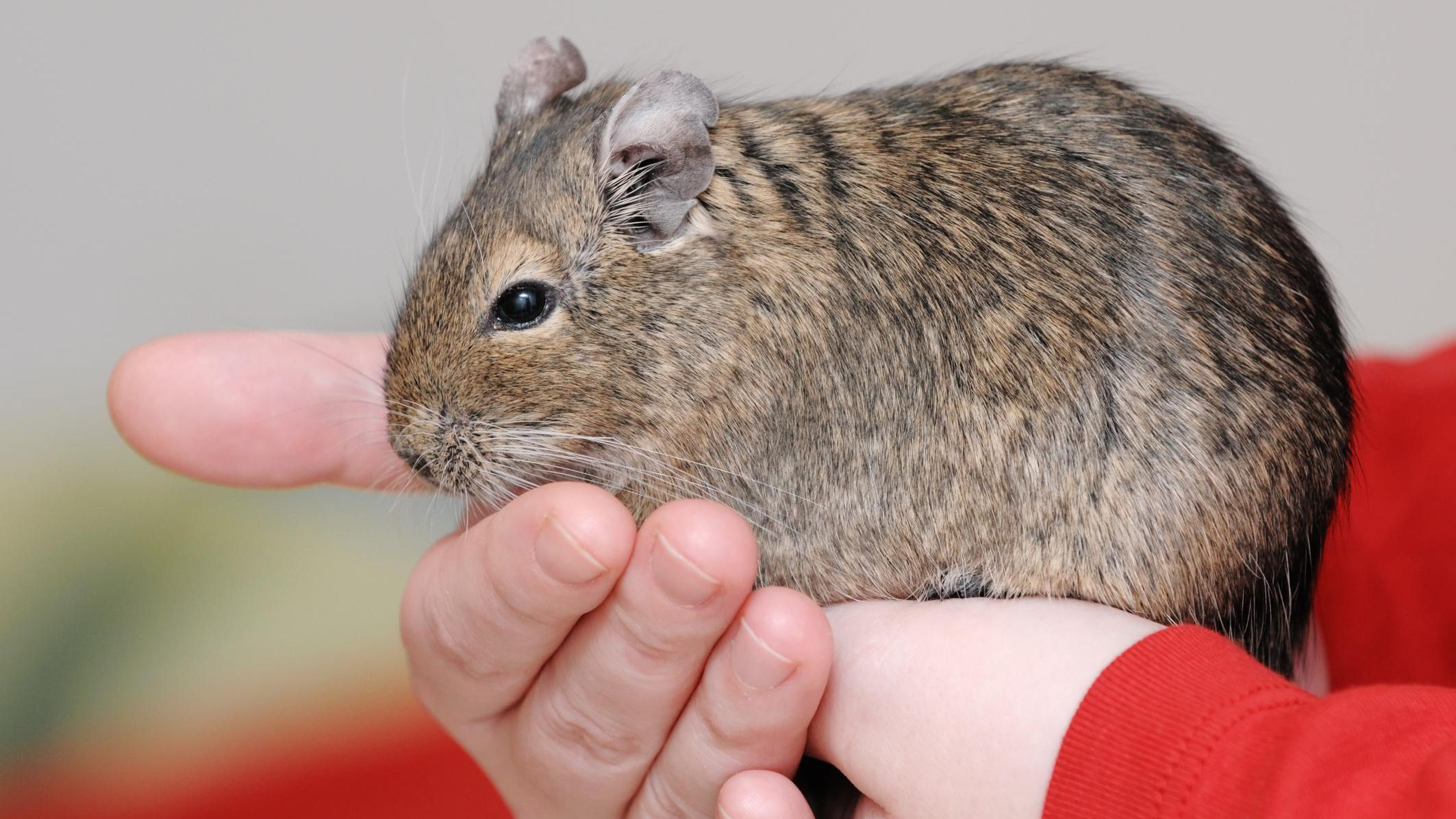 Keeping and Caring for Degus as Pets