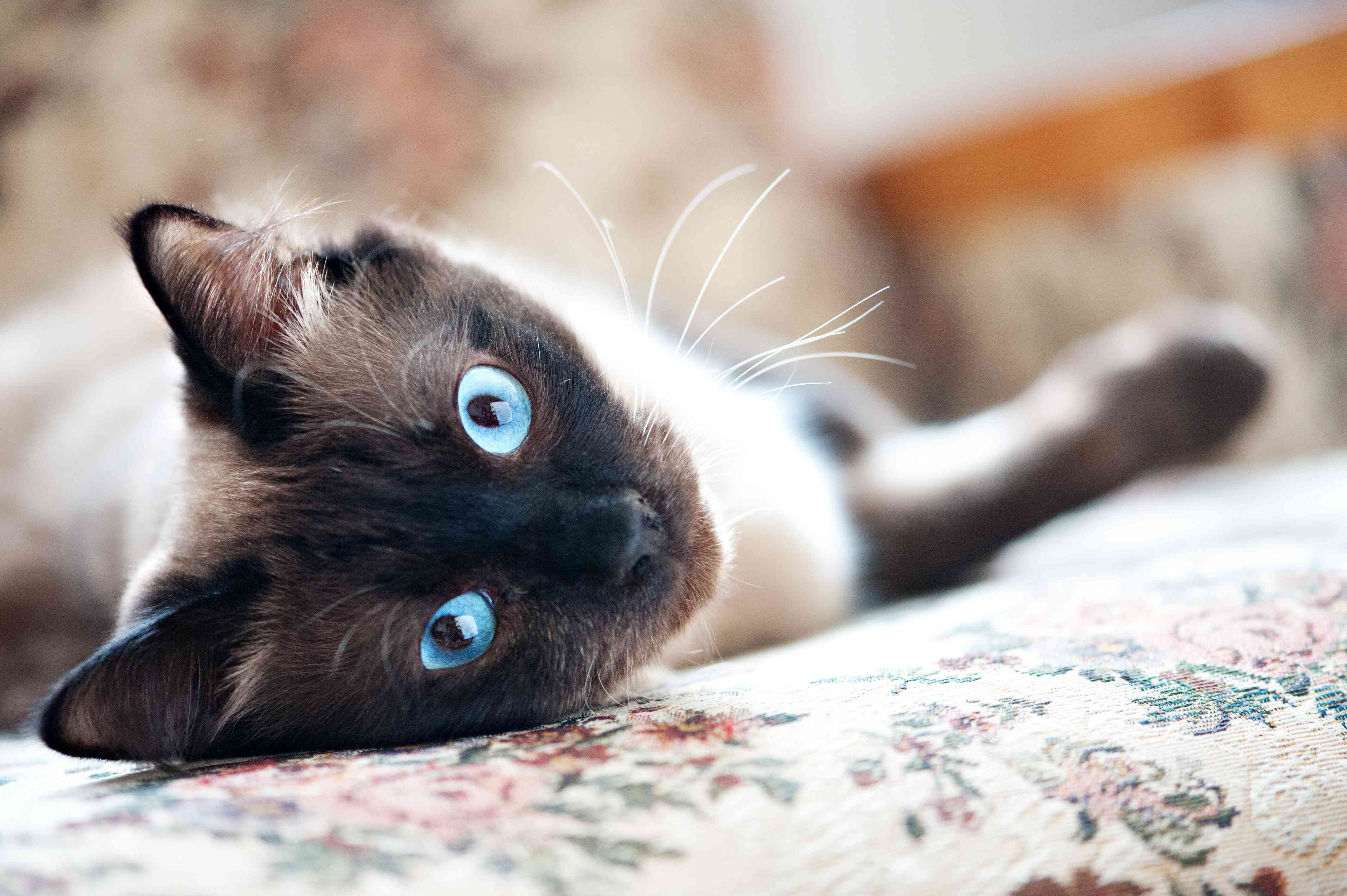 Burmanese male cat laying down