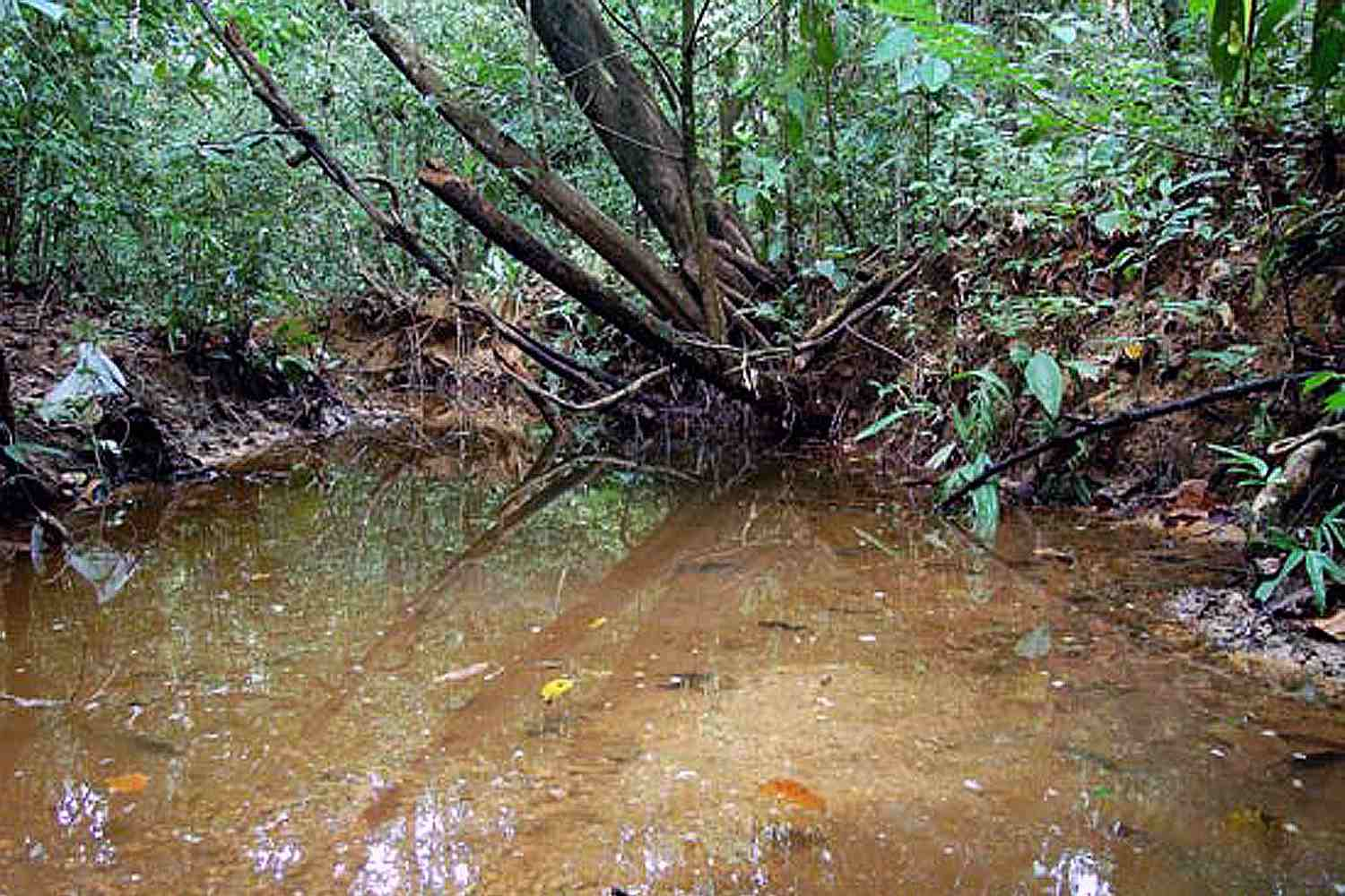 Swampy area with trees and water where killifish live.