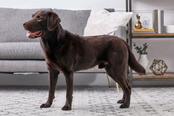 Labrador Retriever standing indoors in profile