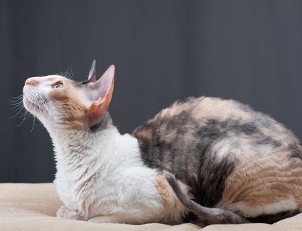 Calico Cornish Rex cat sitting on bed