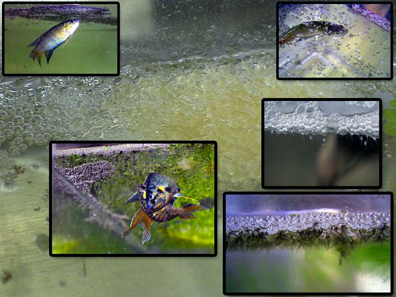 Breeding The Original Tropical Fish, The Paradise Fish
