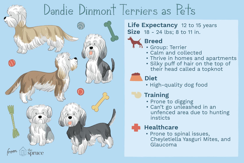 dandie dinmont terriers as pets illustration