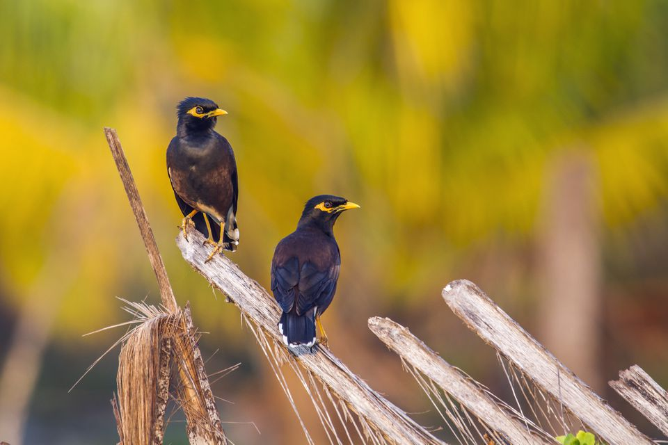 'Common mynah (Acridotheres tristis) on a branch, Kalpitiya, Sri Lanka'