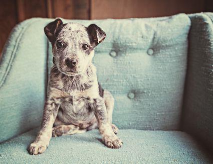 Puppy sitting on chair