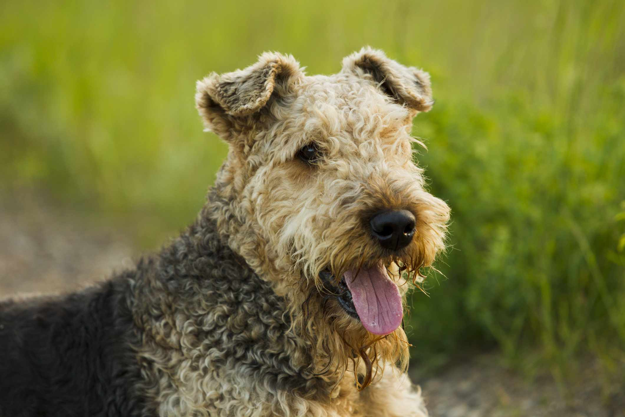 Airedale terrier up close