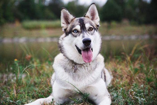 An adult husky with two different colored eyes looking into the camera.